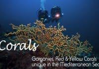 Gorgonies in the Med Sea