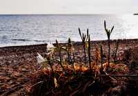 Chios Island. Wild lilies at Managros Beach, Volissos. Maria Kova/ Regional Unit of Chios - Tourism Department.