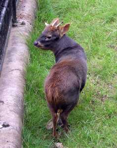 Southern pudú in captivity at Bristol Zoo