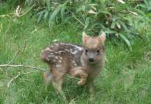 World's Smallest Deer Species Born at Queens Zoo
