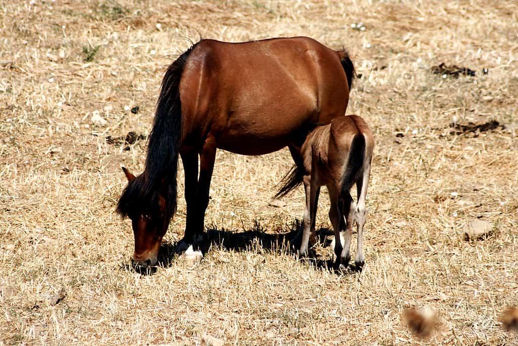 Horses of Skyros