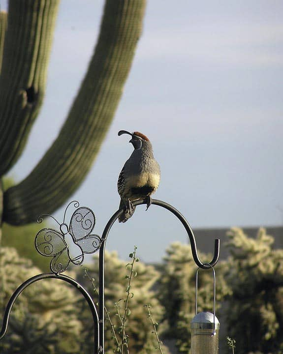 Tucson Arizona - Best Relaxing Destinations in USA gambels-quail-817302_960_720